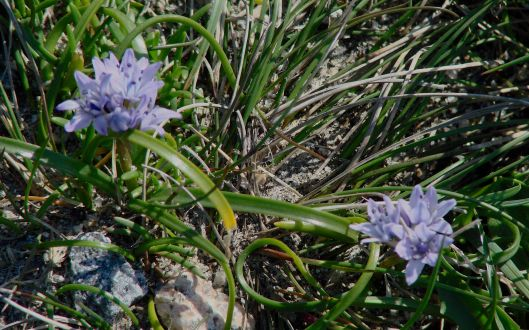 Spring Squill?