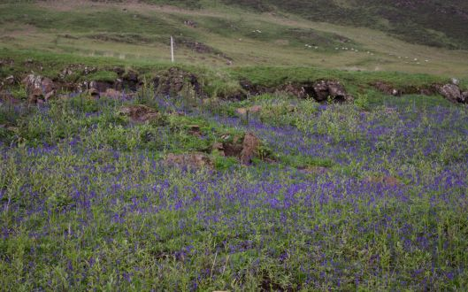 Gorgeous Scottish bluebells