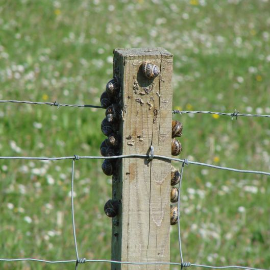 Snails typically congregating on fence post