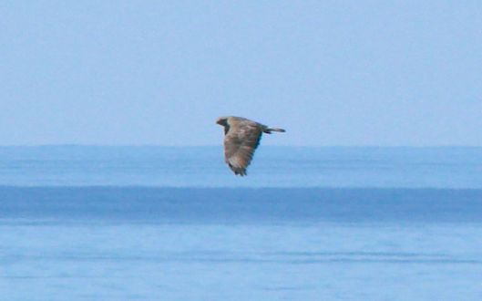 Another angle - still a buzzard!