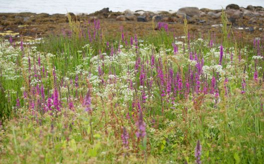 Purple Loosestrife amongst others