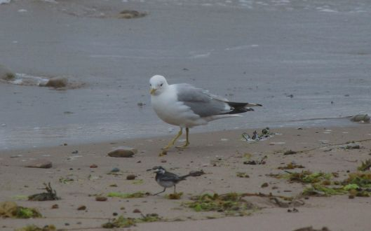 Common Gull eyeing up the little Pied Wagtail!