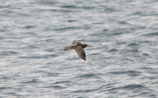 Curlew flying over