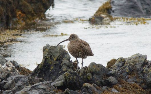 Curlew in the rocks