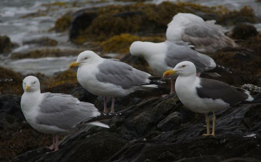 A group of Common Gulls with a Lesser Black-Backed Gull