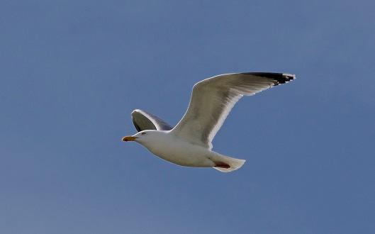 flyinggull