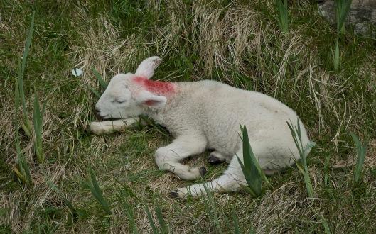 lambsleeping
