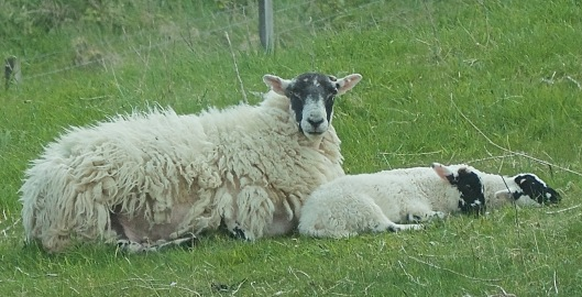 sheep2lambs