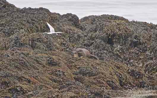 otterfish2
