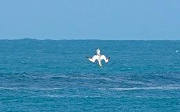 gannet4.5