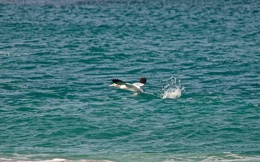 gannet5